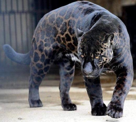 pantera-negra-pelagem