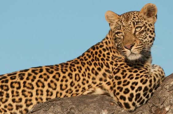 pelagem-do-leopardo