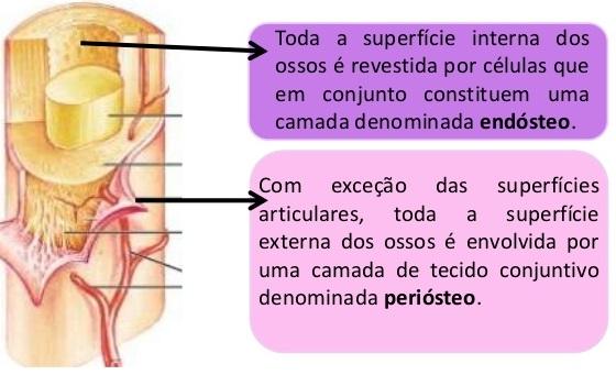 Ossos do Corpo Humano | Anatomia do Esqueleto Humano | Resumo