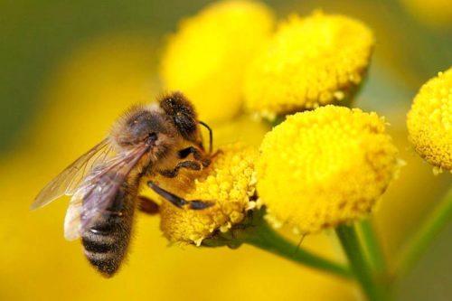polinização-por-abelhas