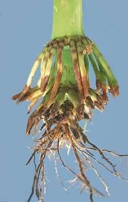 raiz-fascilulada-milho