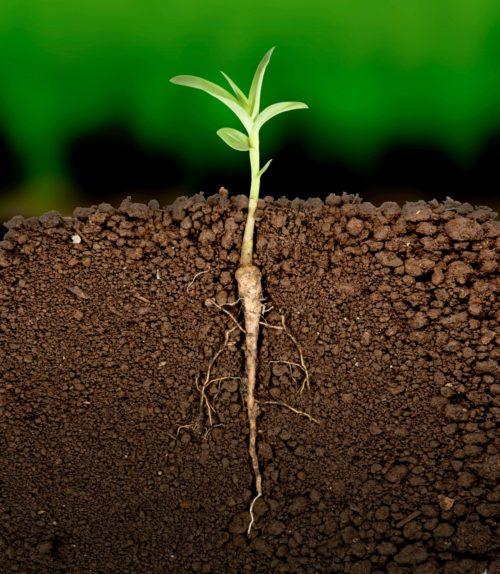 raiz-planta-solo-