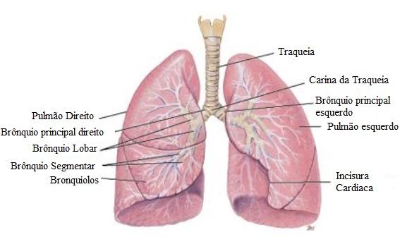 sistema-respiratorio-anatomia-pulmão-humano