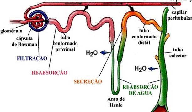 sistema-urinário-resumo