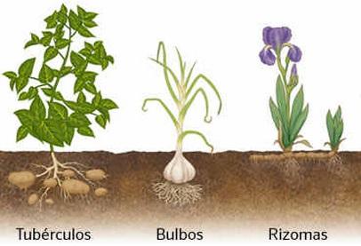 tipos-de-caules-subterrâneos