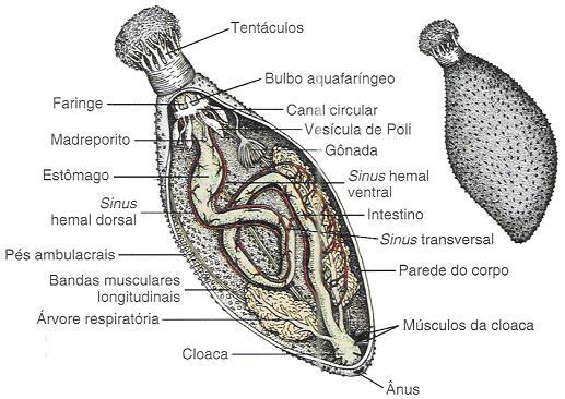 anatomia-do-pepino-do-mar