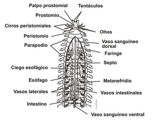anatomia-do-poliqueta