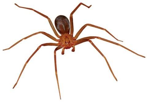 aranha-marrom-venenosa