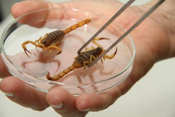 escorpião-amarelo-é-venenoso