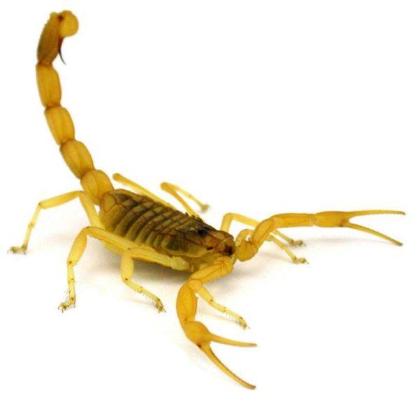 escorpião-amarelo