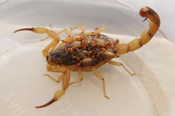 escorpião-amarelo-filhote