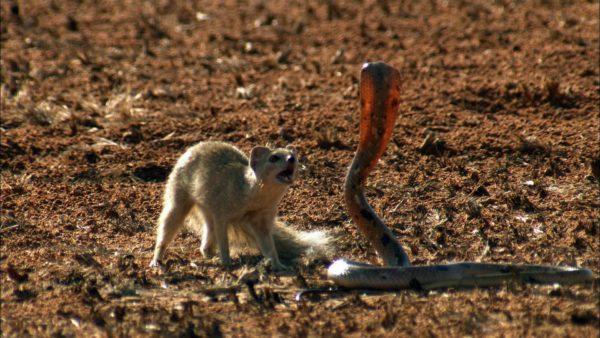 mangusto-cobra