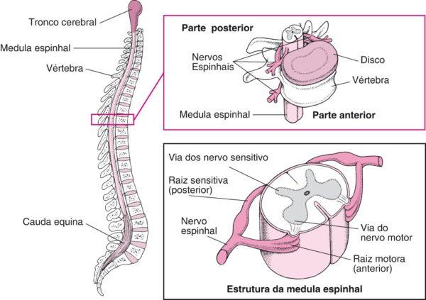 medula-espinhal