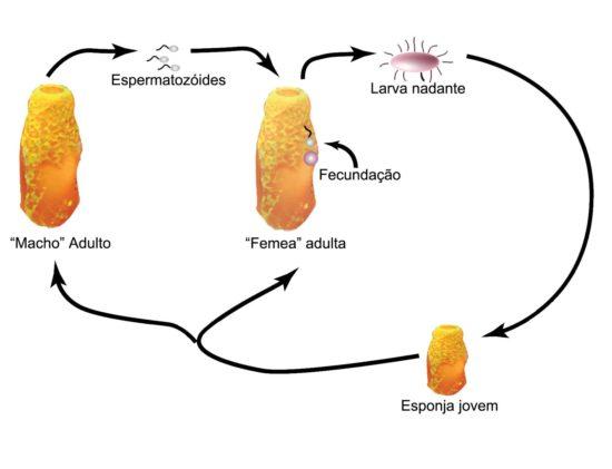 poríferos-características-da-reprodução-sexuada