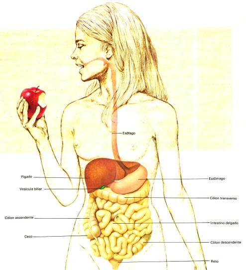 órgãos-do-sistema-digestivo-e-suas-funções