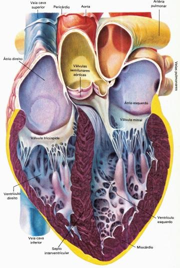 anatomia-do-coração-humano
